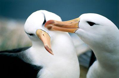 anf_albatross_b